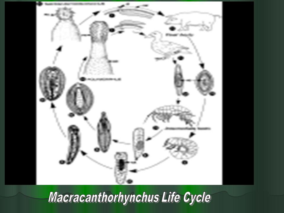 Macracanthorhynchus Life Cycle