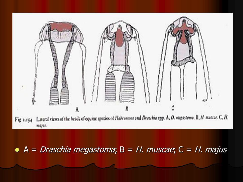 A = Draschia megastoma; B = H. muscae; C = H. majus