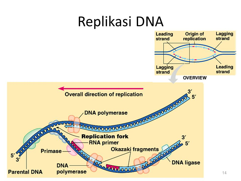 Replikasi DNA