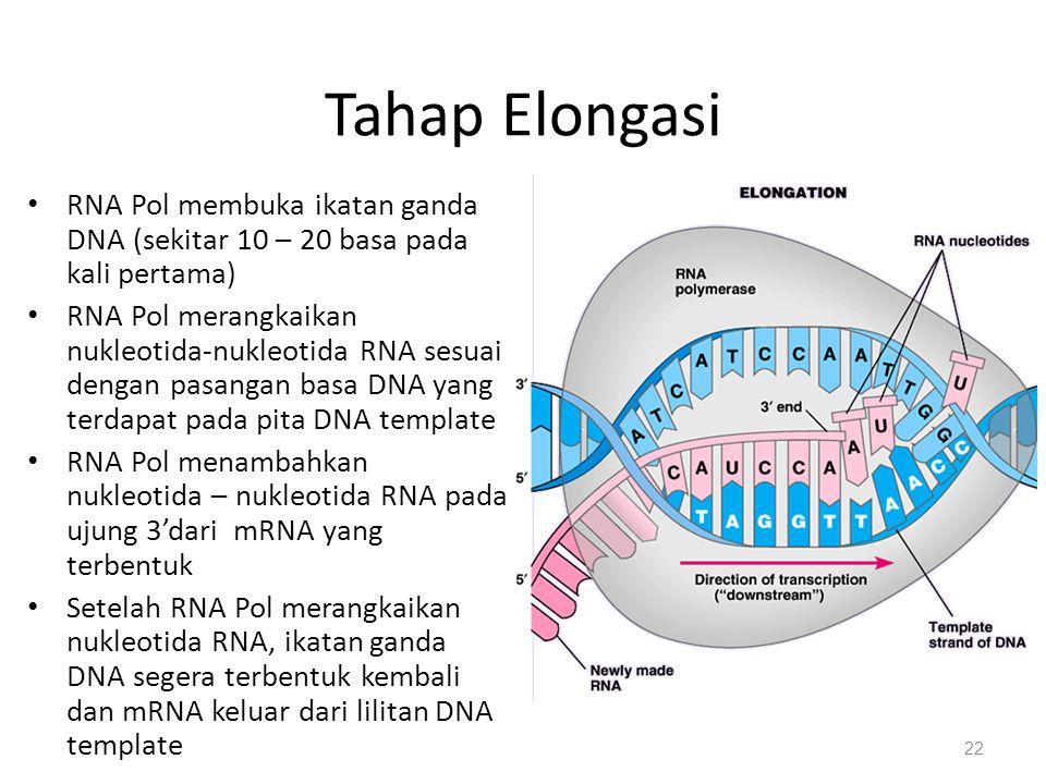Tahap Elongasi RNA Pol membuka ikatan ganda DNA (sekitar 10 – 20 basa pada kali pertama)