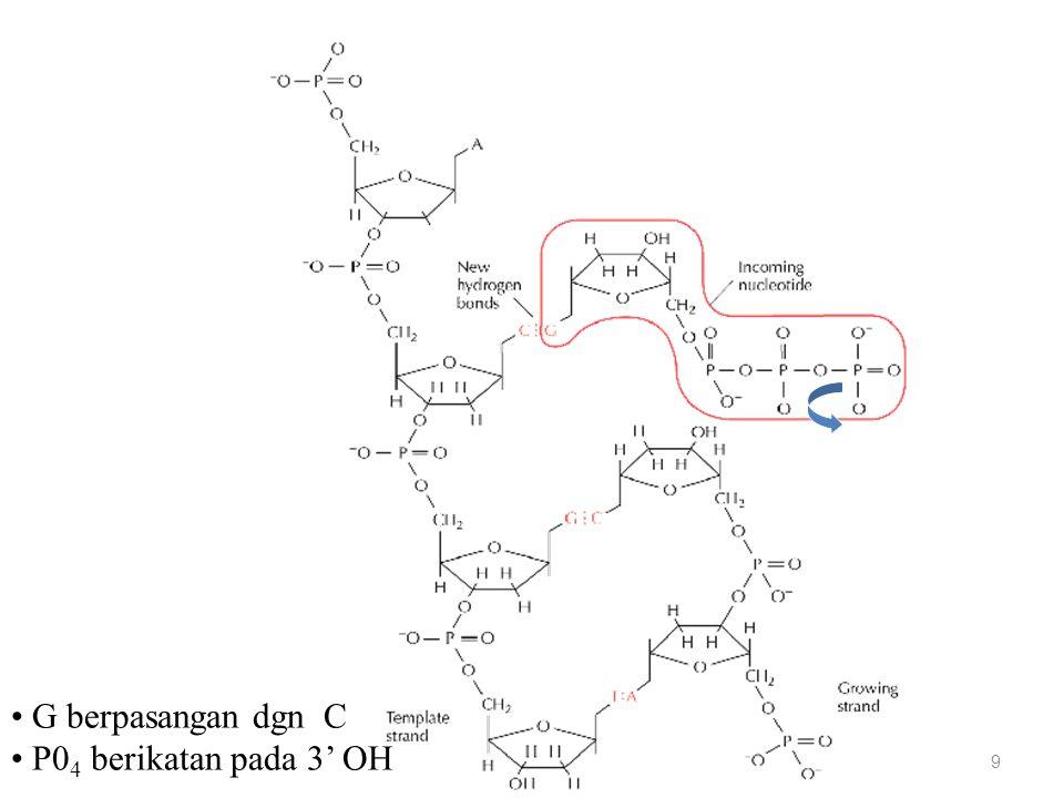 Replikasi DNA: datangnya nukleotida