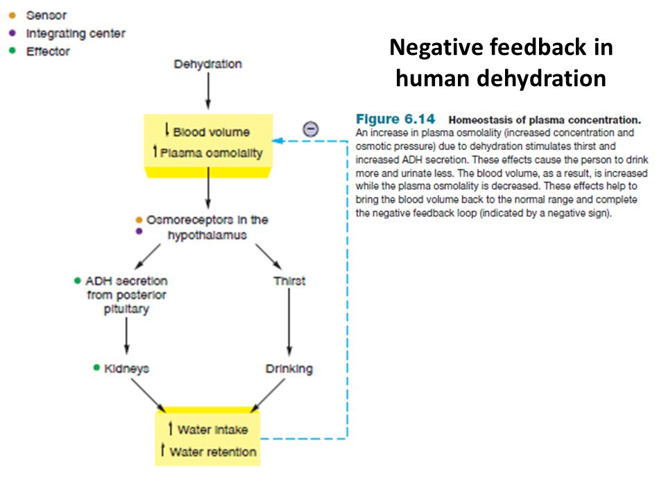 Negative feedback in human dehydration