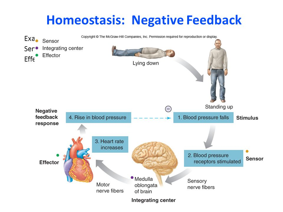 Homeostasis: Negative Feedback