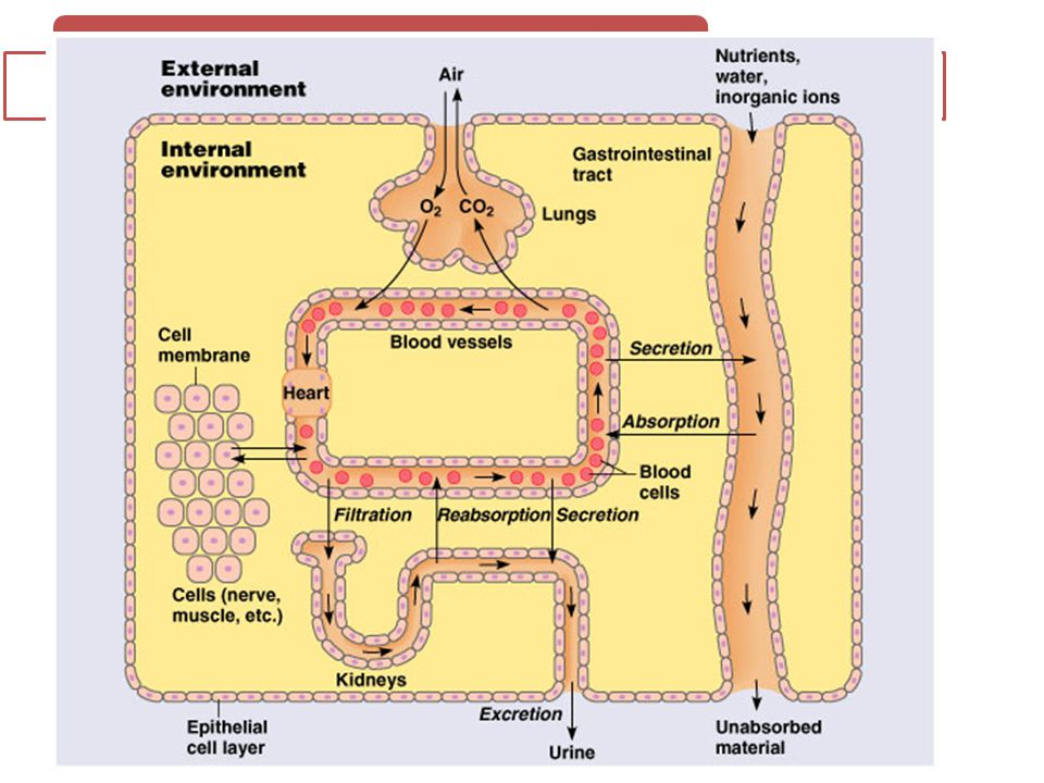 SISTEM HOMEOSTATIS Interior of body separated from external environment by a layer of epithelial tissue.