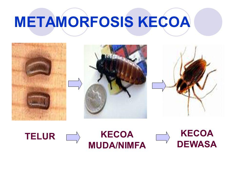 METAMORFOSIS KECOA KECOA MUDA/NIMFA KECOA DEWASA TELUR
