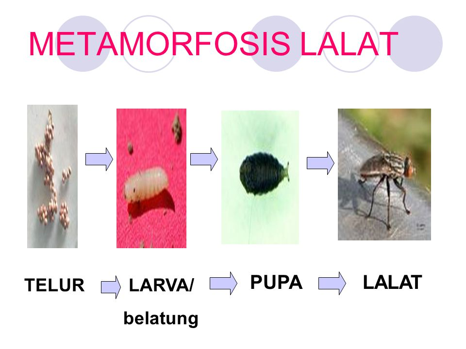 METAMORFOSIS LALAT PUPA LALAT TELUR LARVA/ belatung