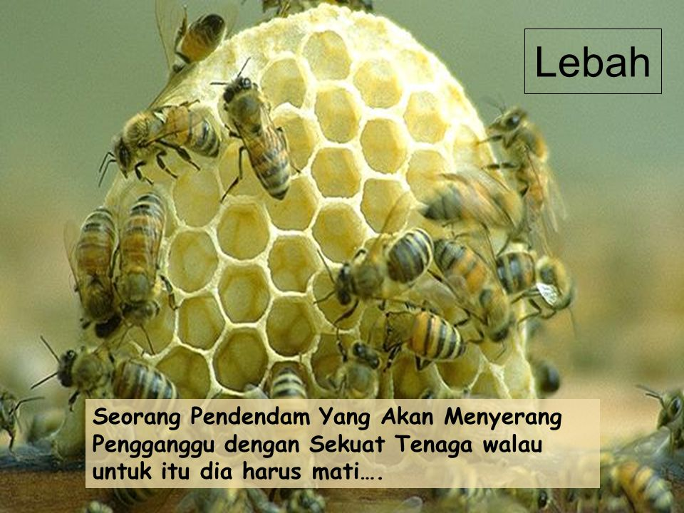 Lebah Seorang Pendendam Yang Akan Menyerang Pengganggu dengan Sekuat Tenaga walau untuk itu dia harus mati….