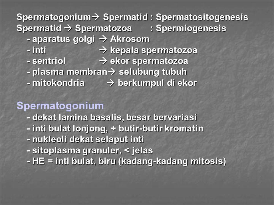 Spermatogonium Spermatogonium Spermatid : Spermatositogenesis