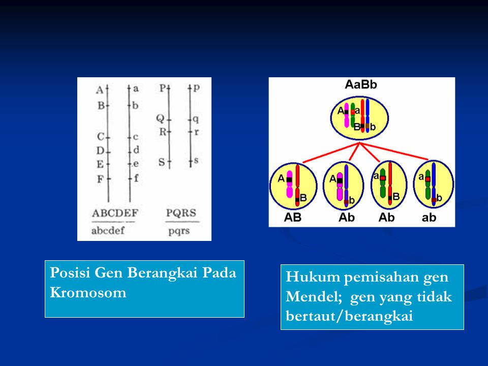 Posisi Gen Berangkai Pada Kromosom
