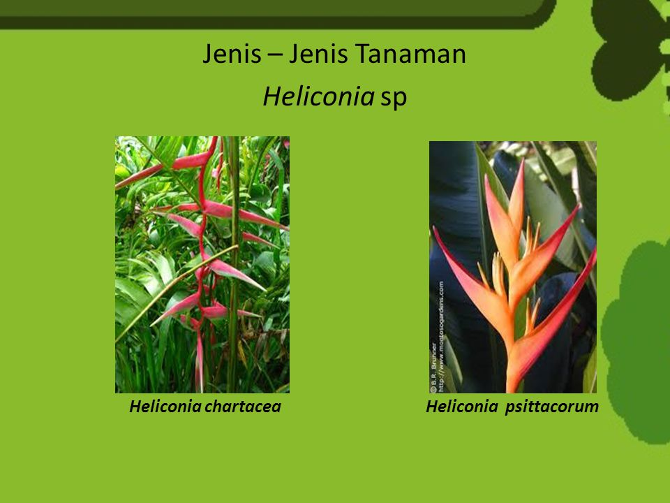 Jenis – Jenis Tanaman Heliconia sp