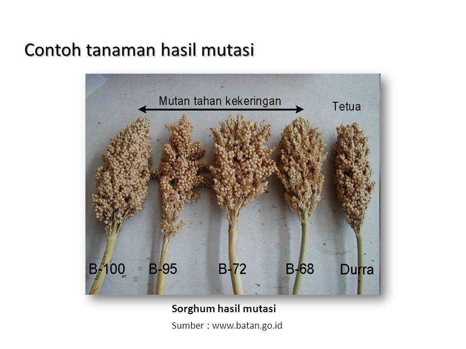 Contoh tanaman hasil mutasi
