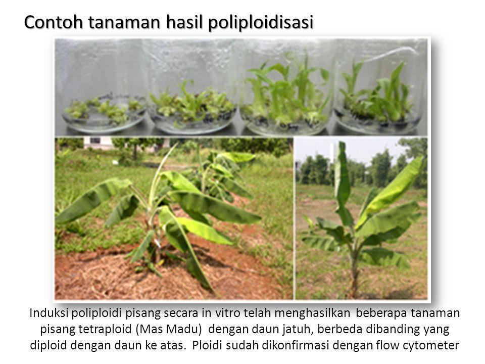 Contoh tanaman hasil poliploidisasi