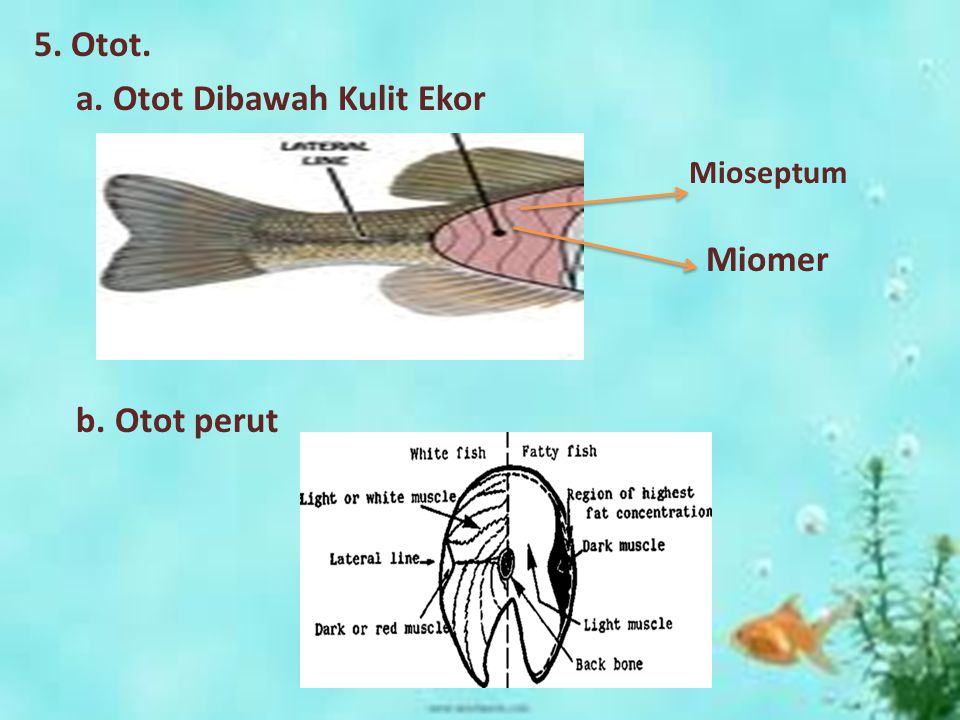 5. Otot. a. Otot Dibawah Kulit Ekor Miomer b. Otot perut