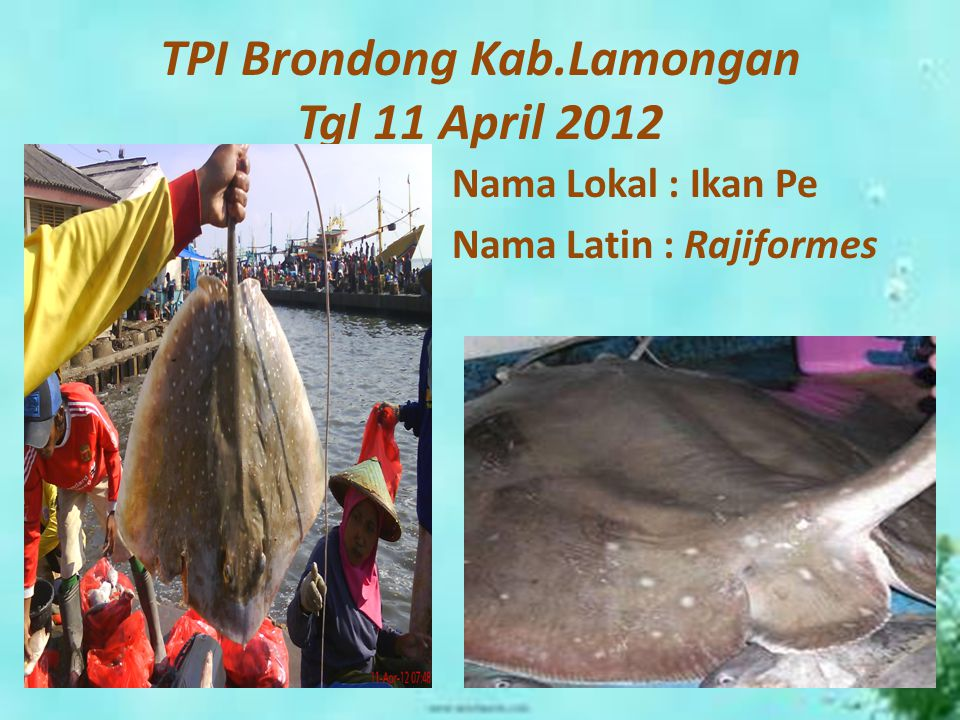 TPI Brondong Kab.Lamongan Tgl 11 April 2012