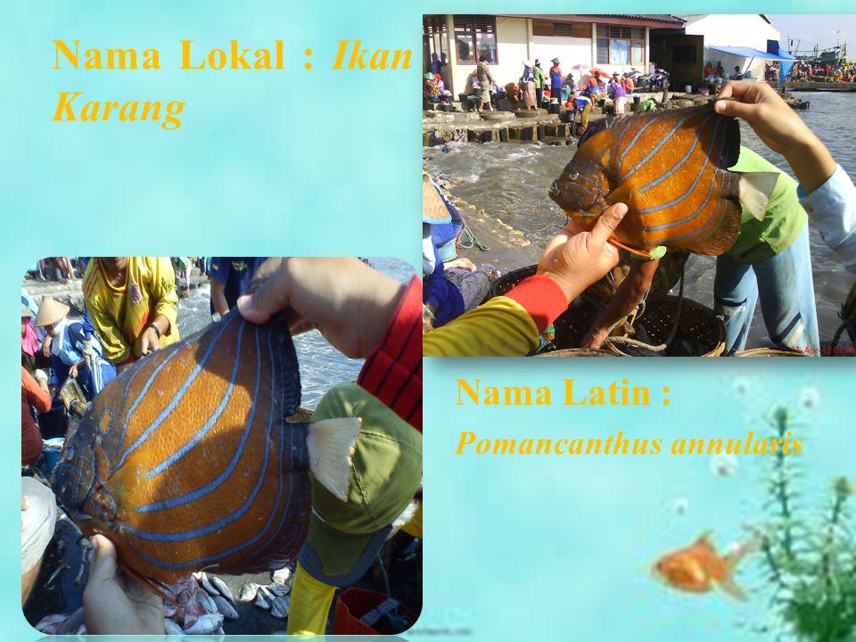 Nama Lokal : Ikan Karang