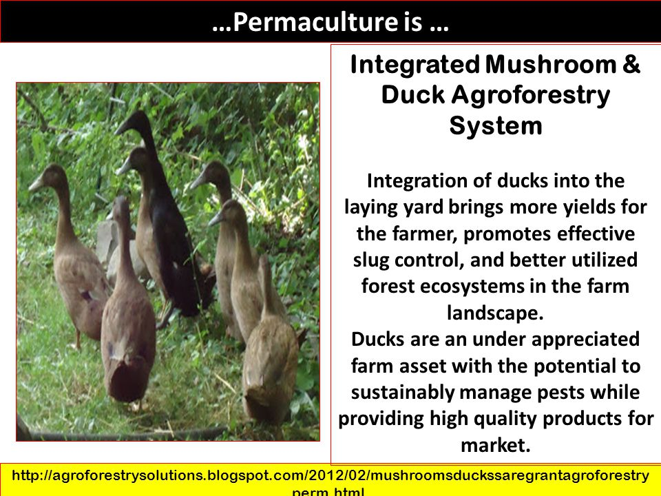 Integrated Mushroom & Duck Agroforestry System