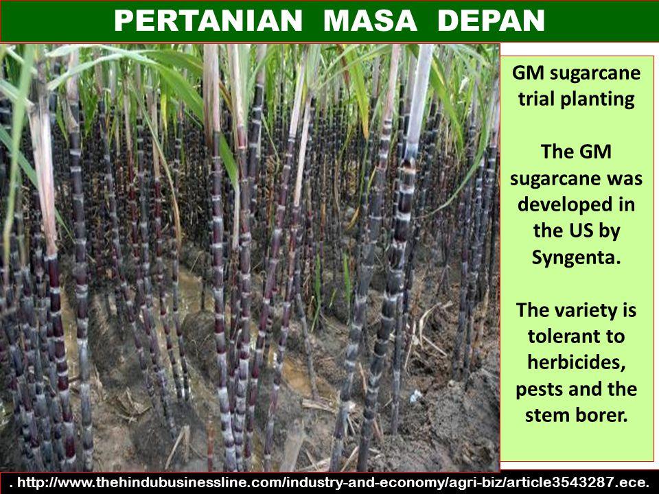 PERTANIAN MASA DEPAN GM sugarcane trial planting