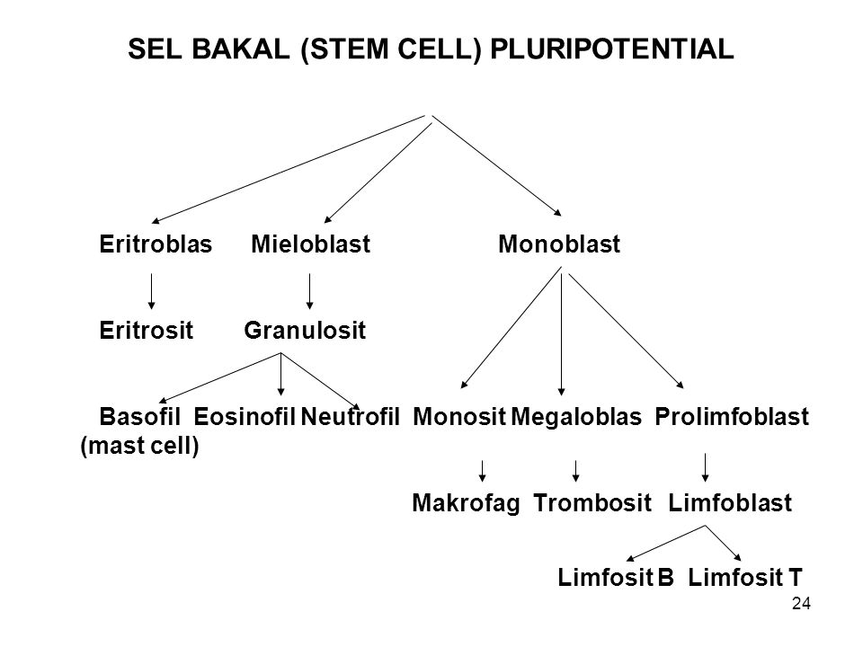 SEL BAKAL (STEM CELL) PLURIPOTENTIAL