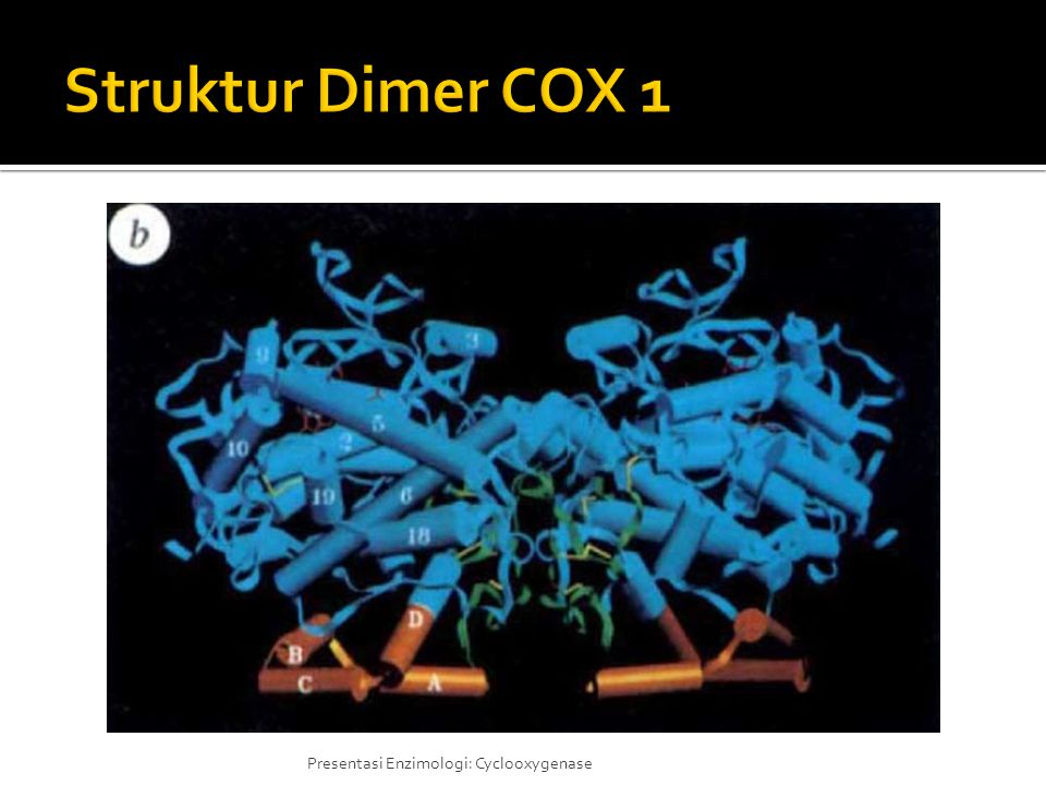 Struktur Dimer COX 1 Enzim COX berada dalam bentuk homodimer yang menempel pada luminal side dari inti dan retikulum endoplasma.