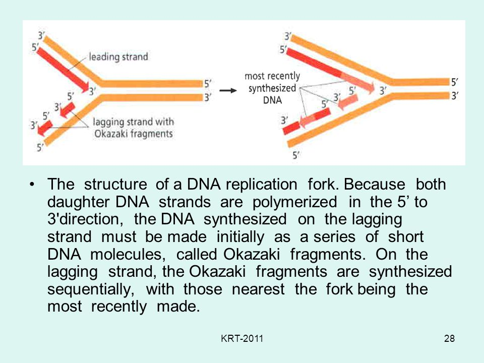 The structure of a DNA replication fork