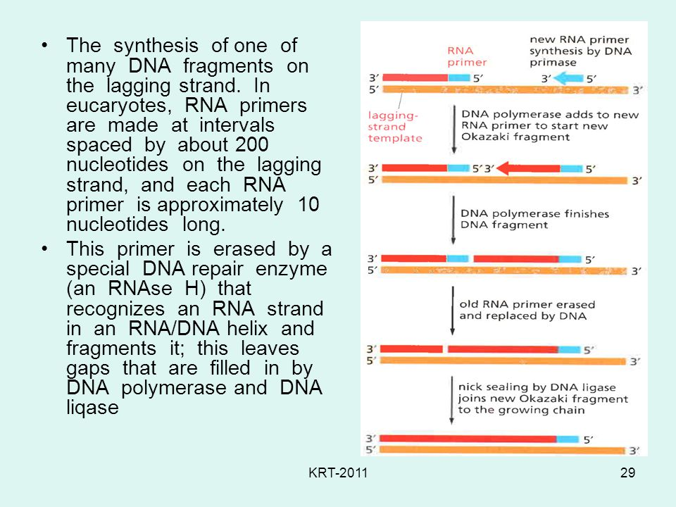 The synthesis of one of many DNA fragments on the lagging strand