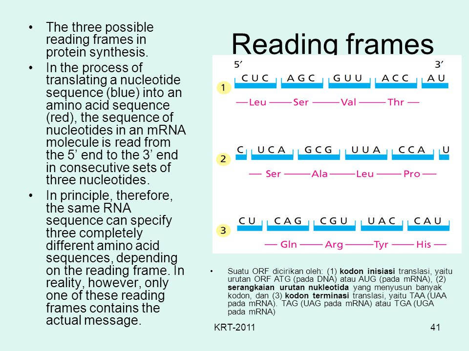 Reading frames The three possible reading frames in protein synthesis.