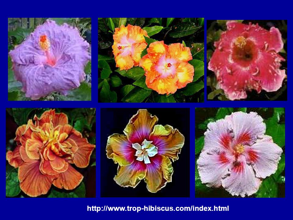 http://www.trop-hibiscus.com/index.html