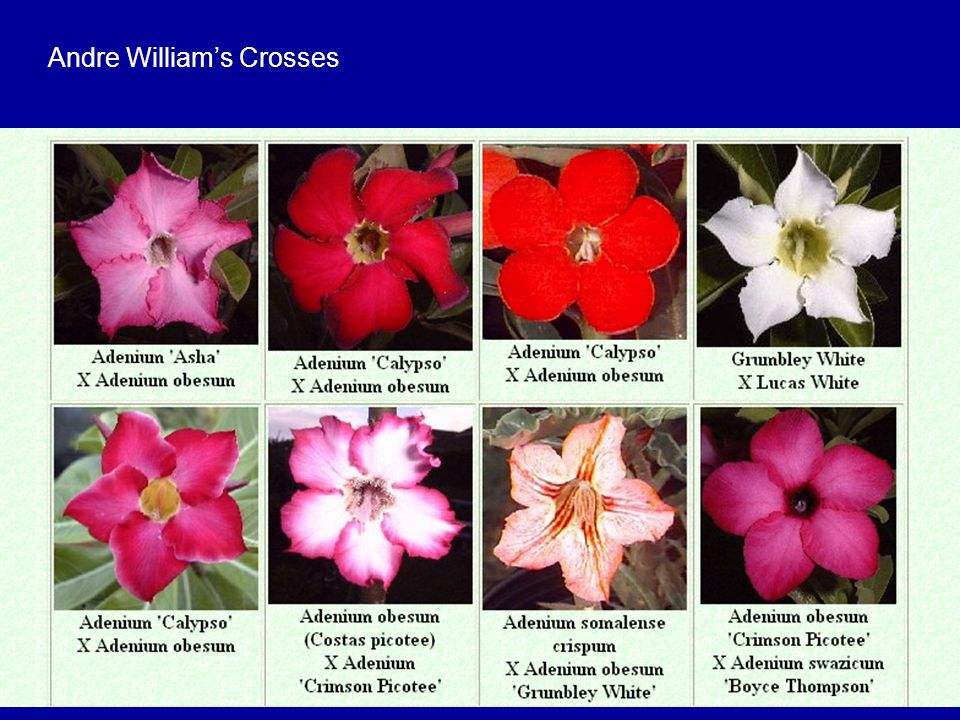 Andre William's Crosses