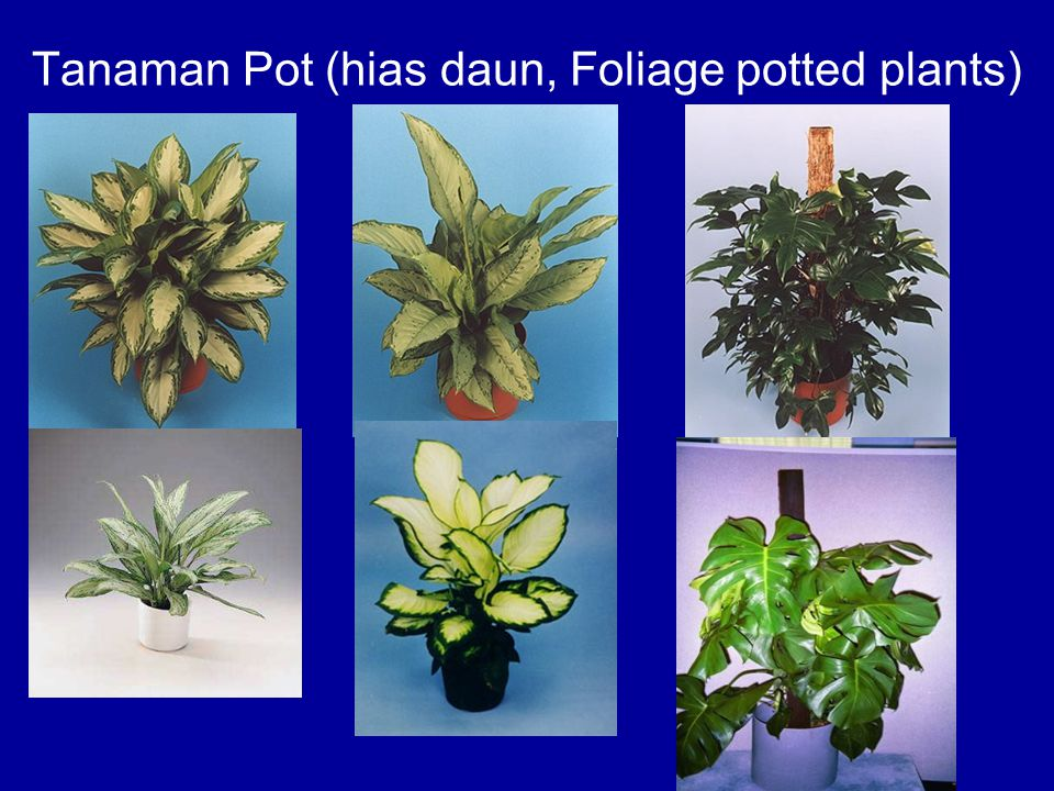 Tanaman Pot (hias daun, Foliage potted plants)