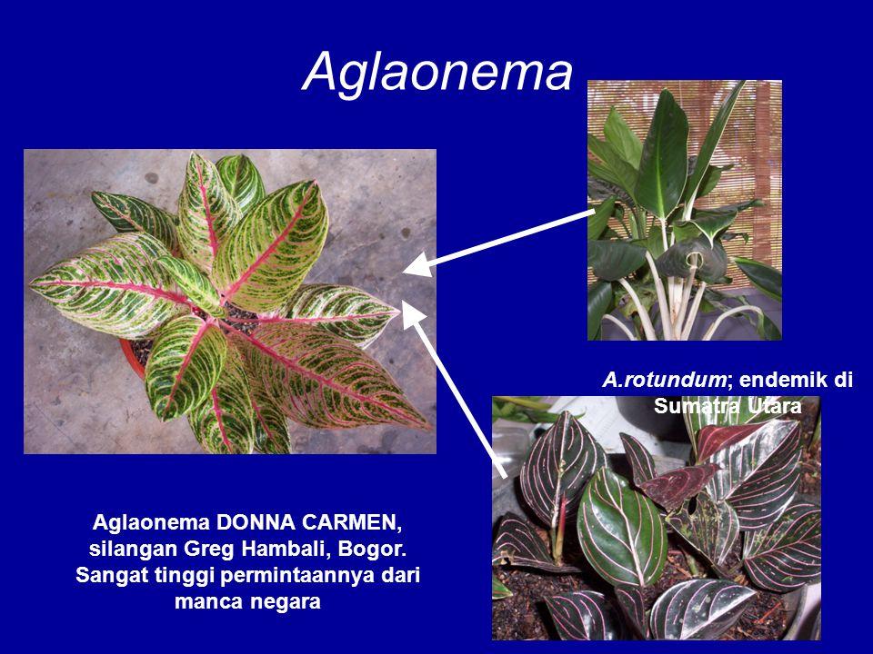 A.rotundum; endemik di Sumatra Utara