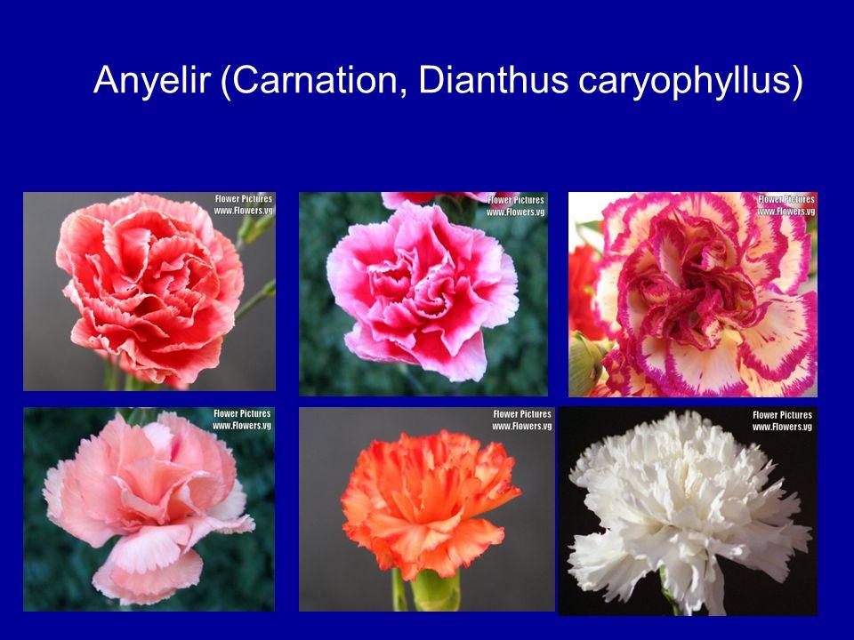 Anyelir (Carnation, Dianthus caryophyllus)