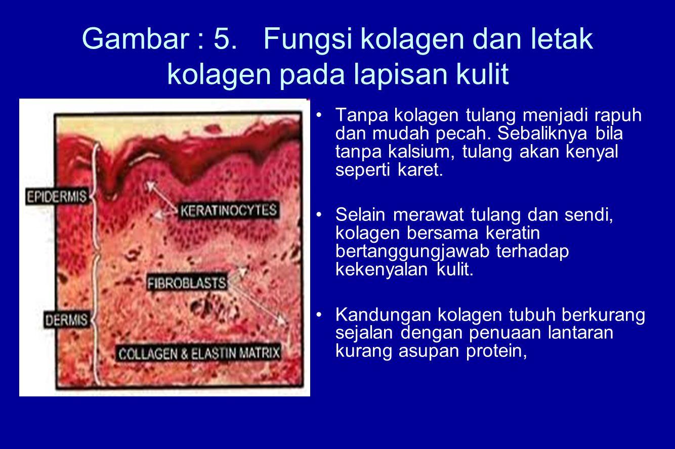 Gambar : 5. Fungsi kolagen dan letak kolagen pada lapisan kulit