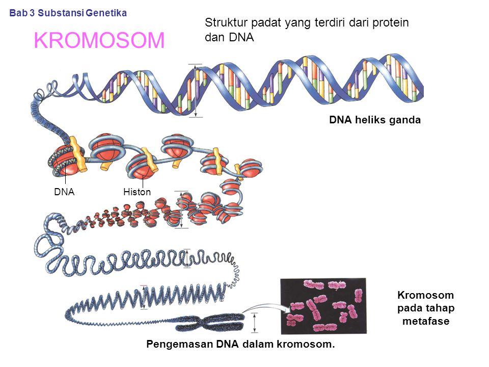 Kromosom pada tahap metafase Pengemasan DNA dalam kromosom.