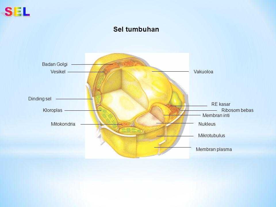 SEL Sel tumbuhan Badan Golgi Vesikel Vakuoloa Dinding sel RE kasar