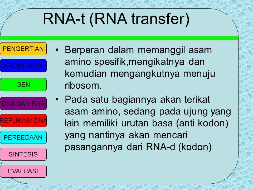 RNA-t (RNA transfer) Berperan dalam memanggil asam amino spesifik,mengikatnya dan kemudian mengangkutnya menuju ribosom.