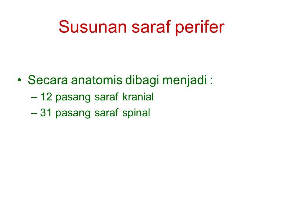 Susunan saraf perifer Secara anatomis dibagi menjadi :