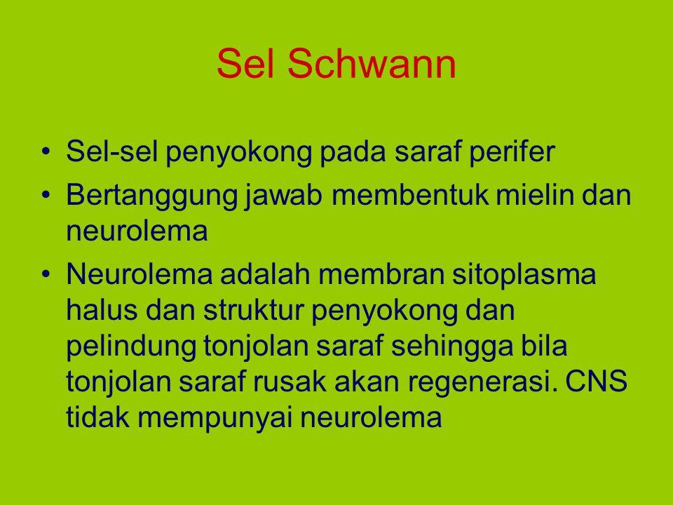 Sel Schwann Sel-sel penyokong pada saraf perifer
