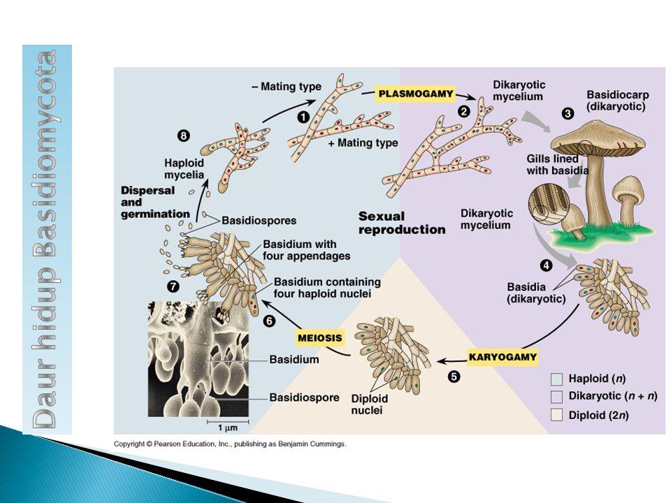 Daur hidup Basidiomycota