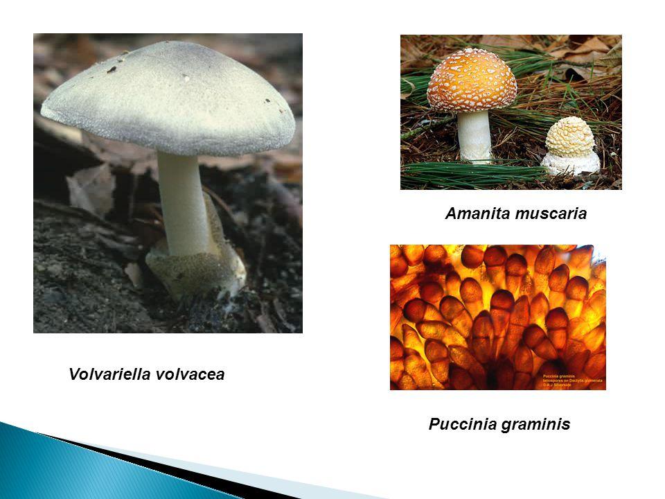 Amanita muscaria Volvariella volvacea Puccinia graminis