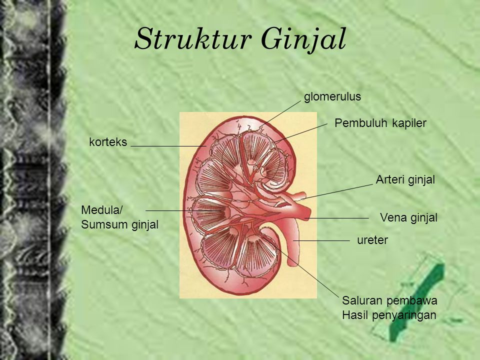 Struktur Ginjal glomerulus Pembuluh kapiler korteks Arteri ginjal