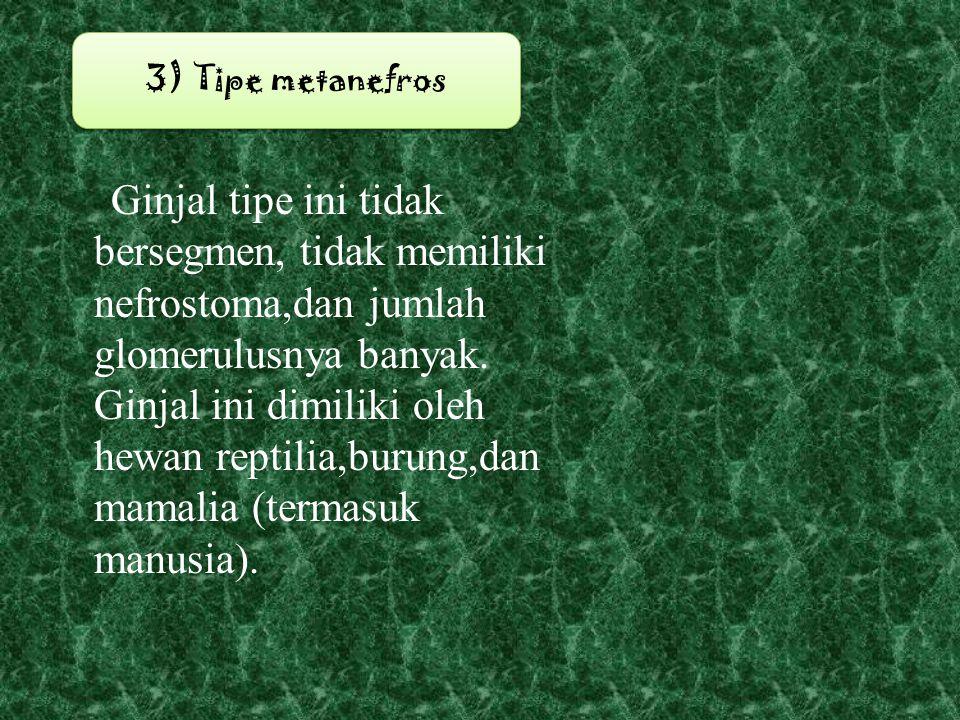3) Tipe metanefros