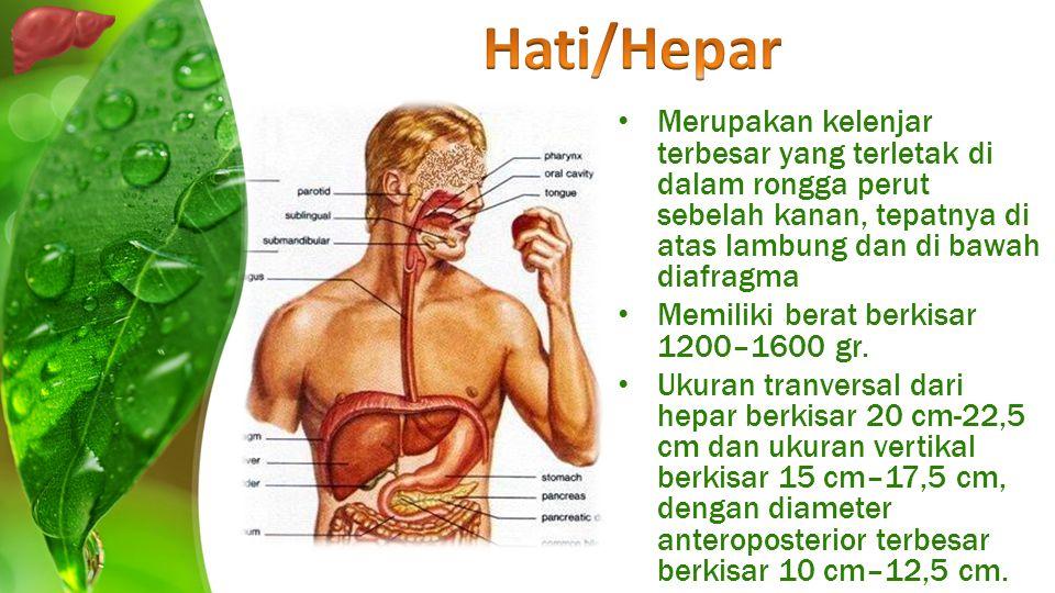 Hati/Hepar Merupakan kelenjar terbesar yang terletak di dalam rongga perut sebelah kanan, tepatnya di atas lambung dan di bawah diafragma.