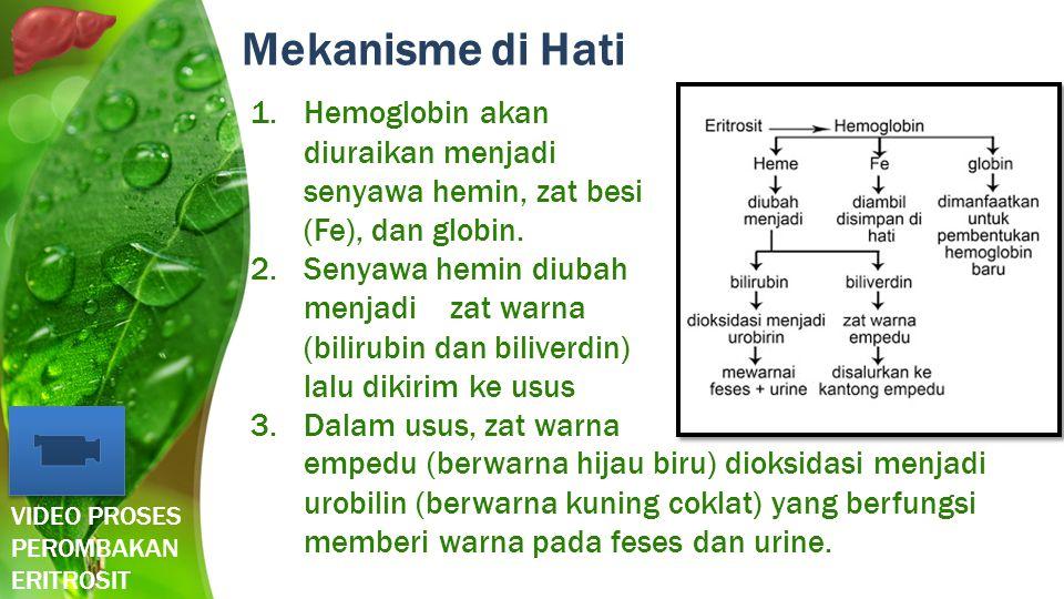Mekanisme di Hati Hemoglobin akan diuraikan menjadi senyawa hemin, zat besi (Fe), dan globin.