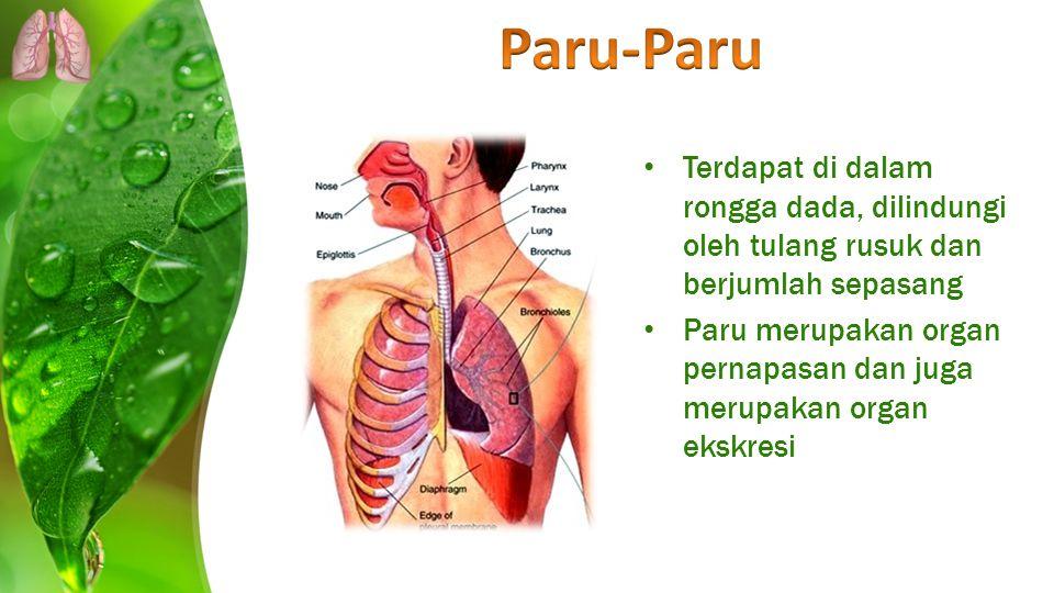 Paru-Paru Terdapat di dalam rongga dada, dilindungi oleh tulang rusuk dan berjumlah sepasang.