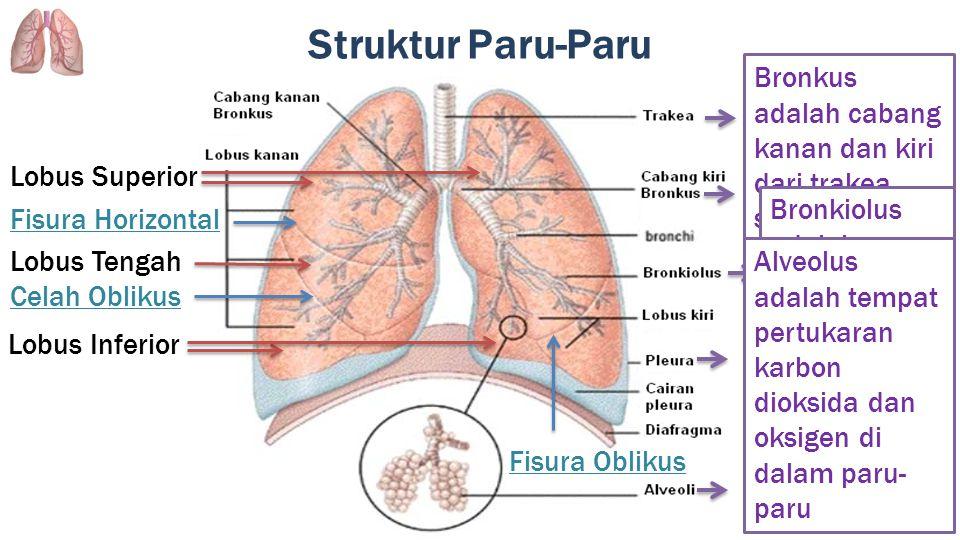 Struktur Paru-Paru Bronkus adalah cabang kanan dan kiri dari trakea, serta memiliki struktur yang sama dengan trakea.