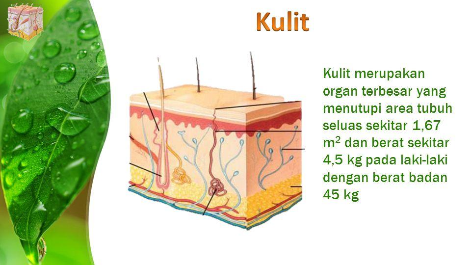 Kulit Kulit merupakan organ terbesar yang menutupi area tubuh seluas sekitar 1,67 m2 dan berat sekitar 4,5 kg pada laki-laki dengan berat badan 45 kg.