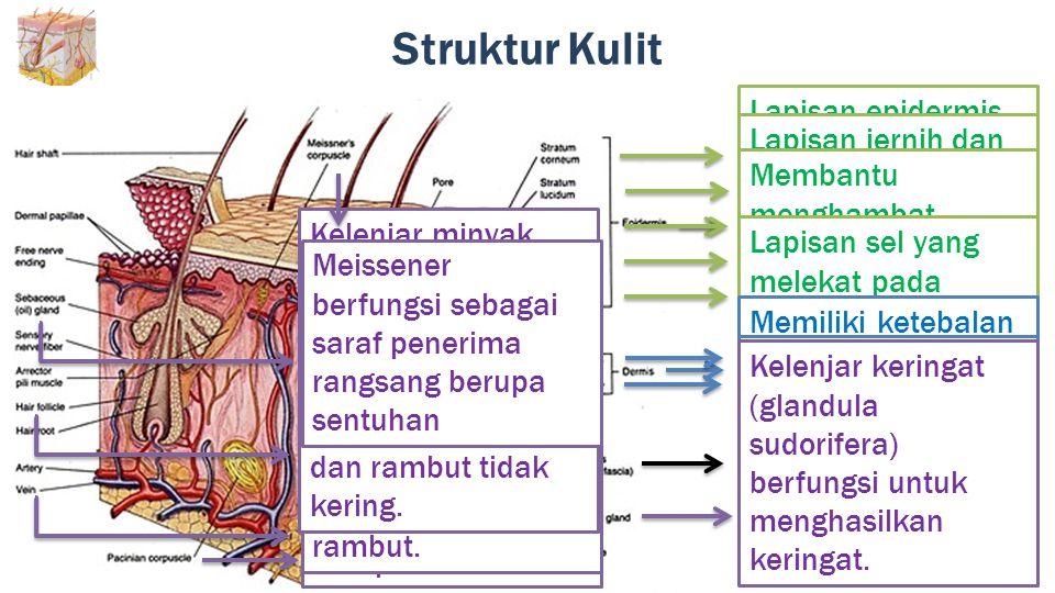 Struktur Kulit Lapisan epidermis paling atas yang mampu mempertahankan elastisitas kulit dan melindungi lapisan dibawahnya dari kekeringan.