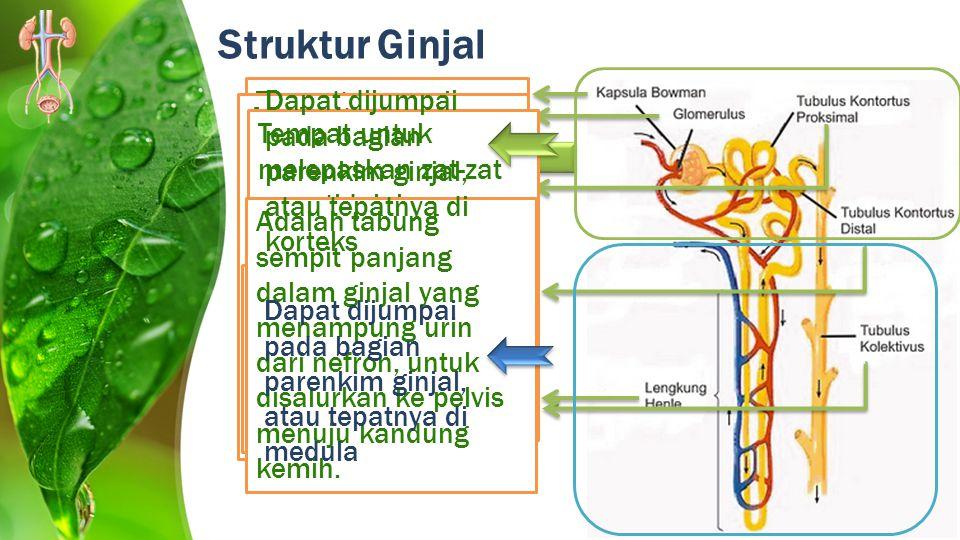 Struktur Ginjal Adalah semacam kantong/kapsul yang membungkus glomerulus.