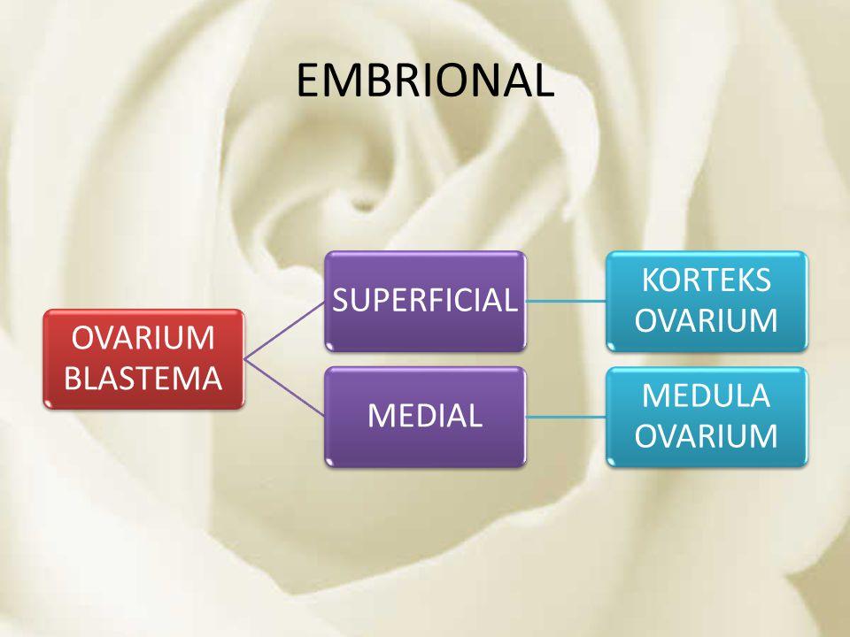 EMBRIONAL OVARIUM BLASTEMA SUPERFICIAL KORTEKS OVARIUM MEDIAL