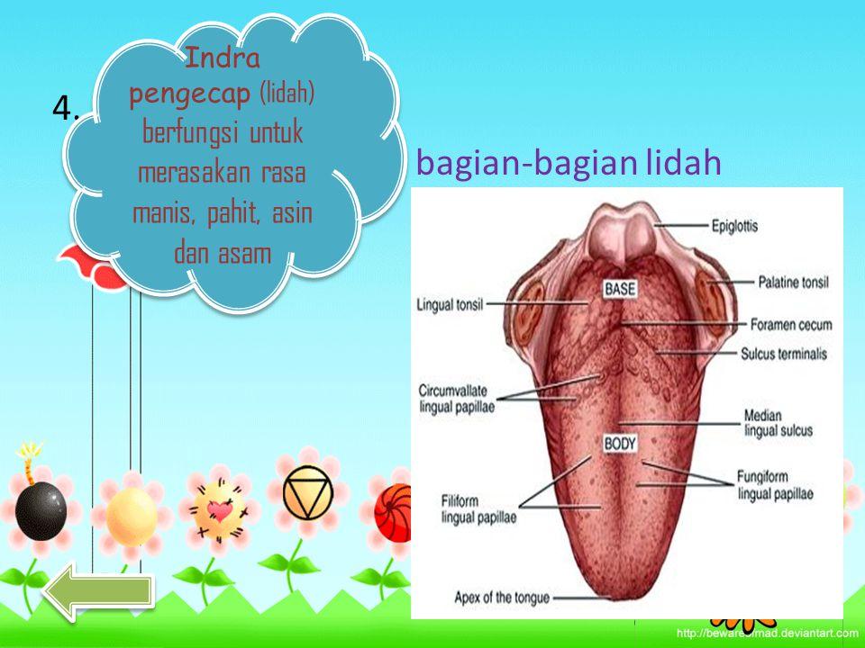 Indra pengecap (lidah) berfungsi untuk merasakan rasa manis, pahit, asin dan asam